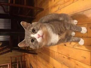 "Adult Male Cat - Tabby - Grey: ""Buddy"""