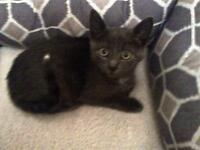 "Baby Male Cat - Domestic Short Hair - gray and white: ""Wesley"""