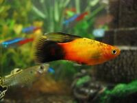 Sword tail fish or guppies male or female