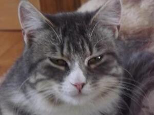"Adult Female Cat - Domestic Short Hair: ""Jennie"""