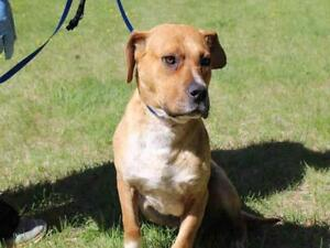 """Young Male Dog - Staffordshire Bull Terrier-Mixed Breed: """"TOMMY"""""""