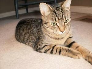"Adult Female Cat - Tabby - Brown: ""Linden"""