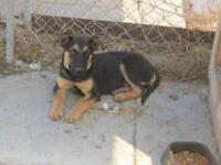 "Young Female Dog - German Shepherd Dog: ""Lola"""