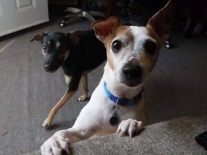 """Adult Male Dog - Toy Fox Terrier: """"COSMO"""""""