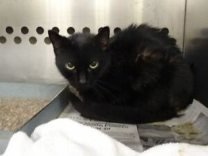 "Adult Female Cat - Domestic Short Hair: ""Gabby"""
