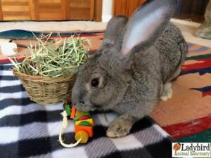 """Young Male Rabbit - American: """"Sterling"""""""