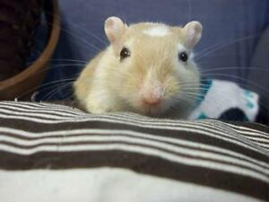 "Young Male Small & Furry - Gerbil: ""Chandler"""