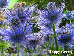 SEA HOLLY - 55 seeds - Eryngium Alpinum -  Alpine perennial flower