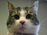 """Adult Male Cat - Domestic Short Hair: """"SPARTICUS"""""""