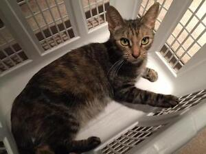 "Young Female Cat - Domestic Short Hair: ""EV"""