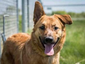 """Young Male Dog - German Shepherd Dog-Mixed Breed: """"SARGE"""""""