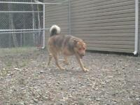 "Adult Male Dog - Shepherd: ""Wesley"""
