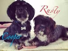 Maltese X Shih Tzu 'Rusty' -  Hunter Animal Rescue Cessnock Cessnock Area Preview