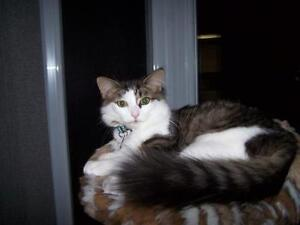 Female Cat - Domestic Long Hair - gray and white-Tabby - white