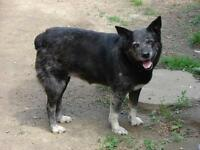"Adult Female Dog - Australian Cattle Dog (Blue Heeler): ""Blue"""