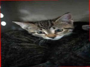 "Baby Female Cat - Domestic Short Hair: ""MIKA"""