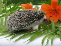 Available Hedgehogs--