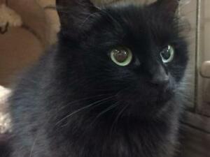 "Young Female Cat - Domestic Medium Hair (Black): ""Laredo"""