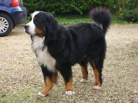 Who will look after Freddie the Bernese?