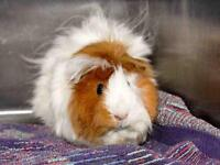 "Adult Female Small & Furry - Guinea Pig: ""ROSIE"""