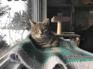 "Adult Female Cat - Domestic Short Hair: ""Sterling"""