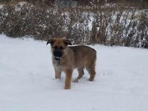 "Baby Female Dog - German Shepherd Dog: ""PHARAOH"""