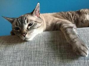 """Adult Female Cat - Domestic Short Hair: """"Samantha"""" Downtown-West End Greater Vancouver Area image 2"""