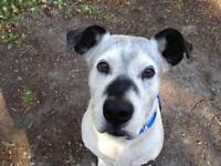 "Senior Male Dog - Pit Bull Terrier-Dalmatian: ""Slim"""