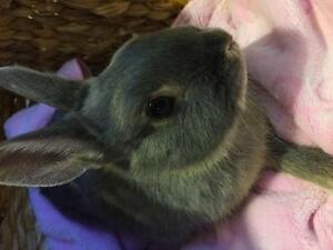"Young Female Rabbit - Netherland Dwarf: ""Lavender"""