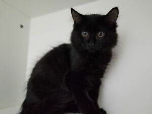 "Baby Female Cat - Domestic Long Hair: ""Sable"""