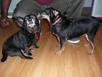 "Senior Male Dog - Chihuahua: ""Lil Bit & Reggie"""