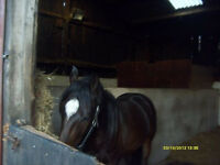 FREE 5 STAR HORSE TO LOAN/SHARE in bushey