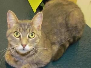 "Adult Male Cat - Tabby - Brown: ""Atticus"""