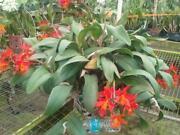 Huge Orchid
