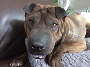 """Young Female Dog - Shar Pei: """"ADOPTED!  Adorable MINNIE"""""""