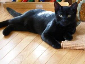 "Young Female Cat - Domestic Short Hair-black: ""Breanna"" Strathcona County Edmonton Area image 2"