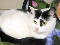 "Young Female Cat - Domestic Short Hair-black and white: ""Heidi"""