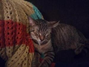 """Young Female Cat - Domestic Short Hair: """"Nicky"""""""
