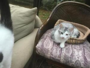 """Young Male Cat - Domestic Short Hair - gray and white: """"Max"""" West Island Greater Montréal image 3"""