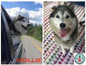 "Senior Female Dog - Siberian Husky: ""Mollie"""