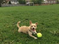 """Adult Male Dog - Terrier-Chihuahua: """"Benny"""""""