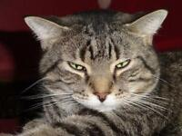 "Adult Male Cat - Tabby - Brown: ""T.J."""