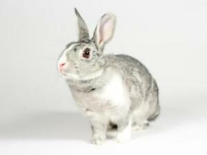 "Adult Female Rabbit - Dwarf: ""Pebbles"""