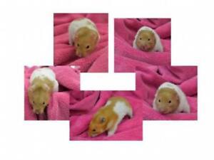 Adult Male  - Hamster