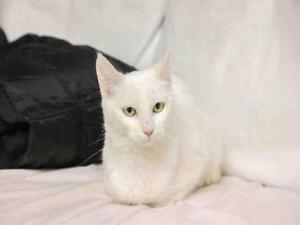 """Young Female Cat - Domestic Short Hair: """"HALO"""""""
