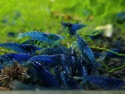 10 +1 Ultra Blue Dream - Freshwater Neocaridina Aquarium Shrimp. Live Guarantee