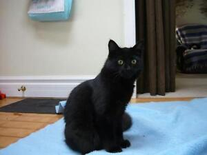"Young Female Cat - Domestic Medium Hair-black: ""Fuzzy"""