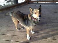 "Adult Female Dog - Shepherd: ""Mary Lou"""