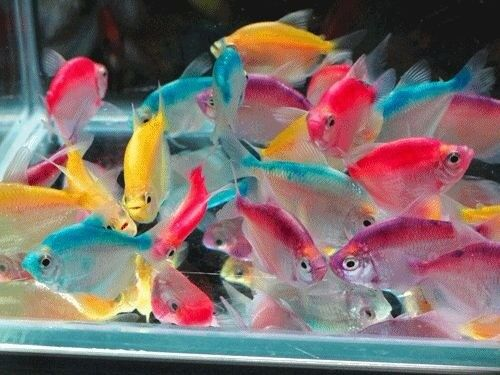 5x Colour Widow Tetra for sale live tropical fish
