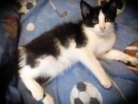 """Baby Female Cat - Domestic Short Hair: """"Blanche"""""""